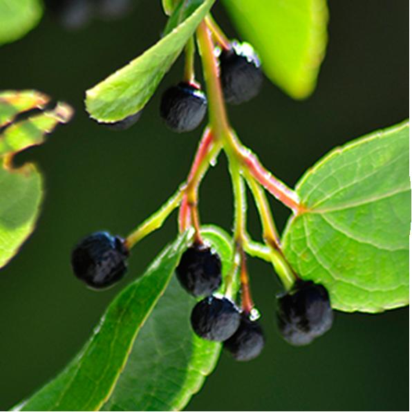 Maqui Berry Delphinol